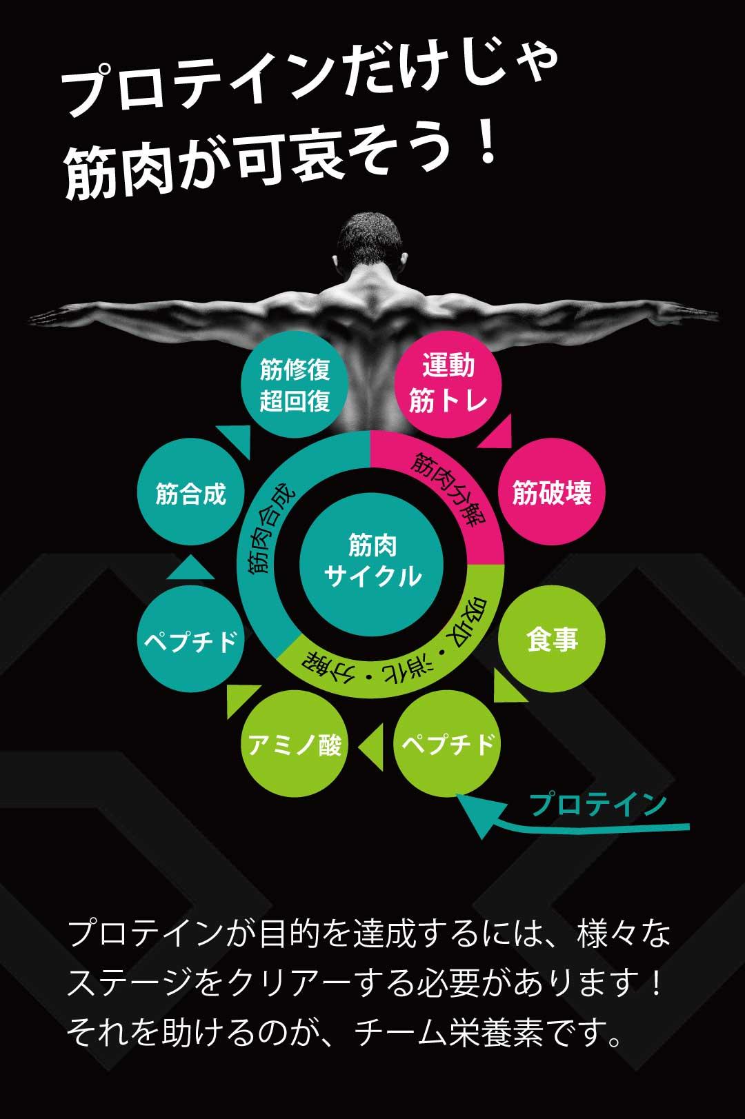 プロテインの筋肉サイクル